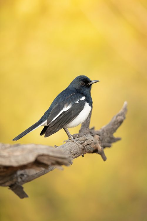 Oriental magpie-robin II perched on a weathered branch. Bharatpur, Rajasthan, India.