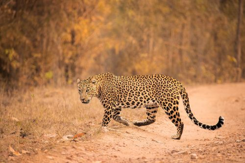 Kanha Leopard. A Big male leopard crossing the dirt track in bamboo forest. Kanha National Park, Madhya Pradesh, india