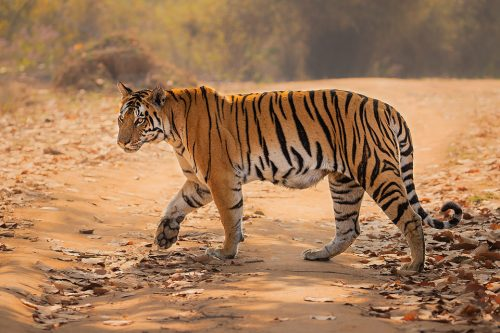 A female tiger cautiously crossing the track, whilst her cubs waited hidden in the dense vegetation to the side. Kanha National Park, Madhya Pradesh, India.