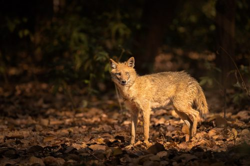 An Indian jackal pauses briefly in a shaft of sunlight coming through the dense jungle canopy. Kanha national park, madha