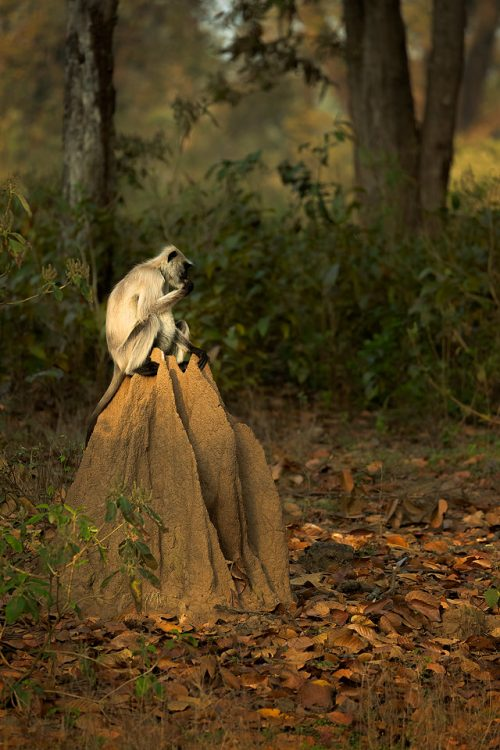 Gray Langur Eating Termites. A gray langur feasting on termites from a termite mound. Kanha National Park, Madhya Pradesh, India. These old world monkeys are named after the Hindu monkey god, Lord Hanuman, and are regarded as sacred in India.