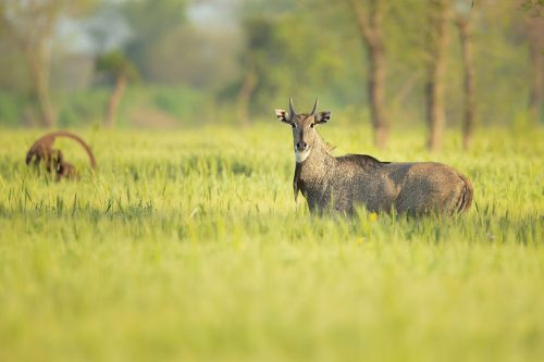 Nilgai in Crop Field. Nilgai antelope (blue bull) standing in a fresh green crop field at the edge of wetland habitat. Greater Noida, India.