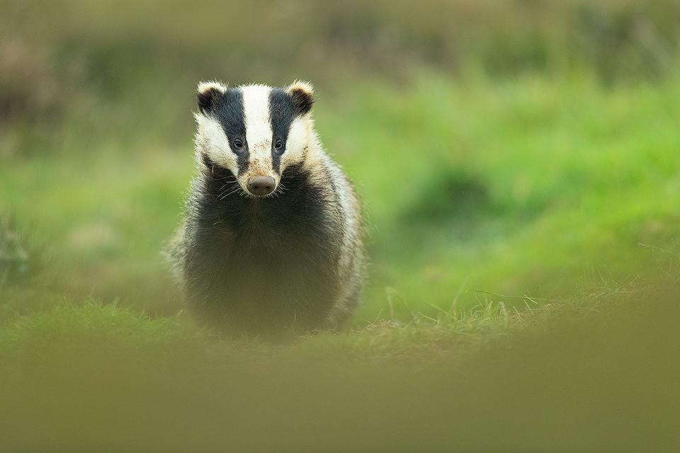 Badger yearling II. Derbyshire, Peak District National Park. This young badger always emerges first from the sett. He very quickly got used to my presence and the sound of the camera shutter. Eventually he became so confident he didn't react at all and continued to forage with his nose firmly pressed to the ground. No matter how much time I spend with badgers it's always an amazing experience and a real treat to have the trust of these elusive and shy animals.