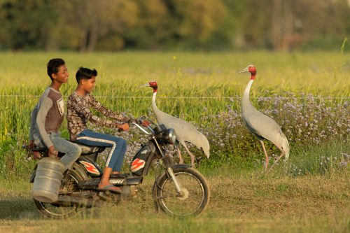 A pair of Sarus cranes attempt to cross a dirt track running through their wetland habitat as two boys ride by. Greater Noida, India. Sarus cranes are listed as Vulnerable on the IUCN red list and are threatened primarily by habitat loss due to drainage of essential wetland habitats for farming practices. Other issues include increased use of harmful pesticides, collisions with electrical wires and illegal hunting and egg collecting.
