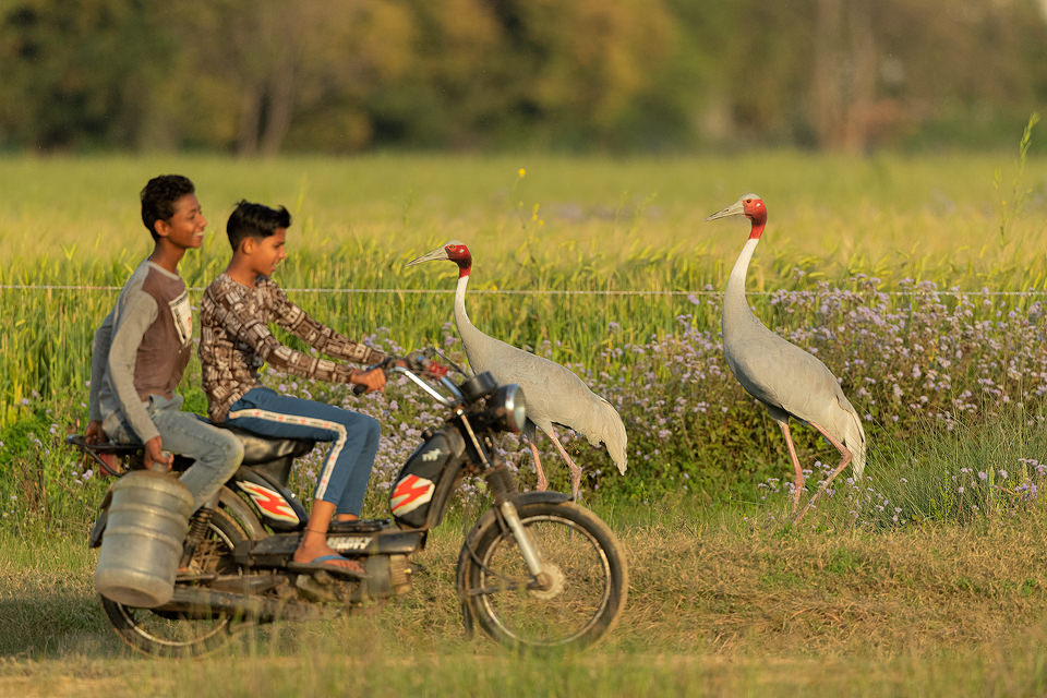 A pair of Sarus cranes attempt to cross a dirt track running through their wetland habitat as two boys ride by.Greater Noida, India.Sarus cranes are listed as Vulnerable on the IUCN red list and are threatened primarily by habitat loss due to drainage of essential wetland habitats for farming practices. Other issues include increased use of harmful pesticides, collisions with electrical wires and illegal hunting and egg collecting.