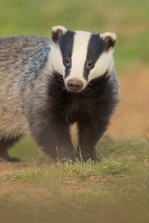 Badger Portrait II. Derbyshire, Peak District NP. Despite being incredibly shy and elusive, badgers are one of my favourite British species to photograph.