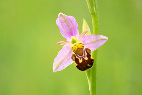 Focus stacked image of a single Bee orchid flower, Millers Dale, Peak District National Park.
