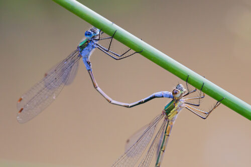 Macro photograph of a pair of Emerald Damselflies (Lestes sponsa) in the mating ritual on a reed, photographed at Potteric Carr Nature Reserve.