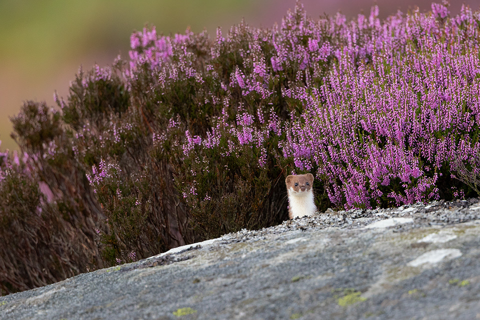 A weasel emerges on top of a gritstone boulder covered in flowering purple heather, August. Derbyshire, Peak District National Park.