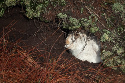 Hiding Mountain hare. A mountain hare sheltering inside a deep peat grough, keeping a careful eye on us.