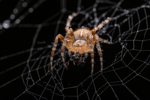 Macro photograph of a female European Garden Spider (Araneus diadematuson) with captured prey, covered in droplets of rain. Sheffield, UK.