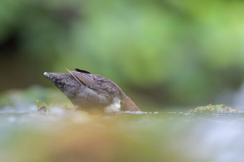 Dipping Dipper. Dipper with head underwater searching for grubs. Derbyshire, Peak District National Park.
