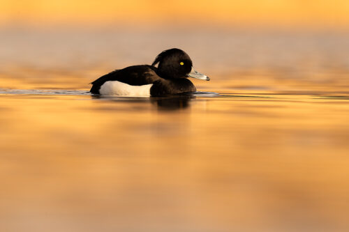 A Tufted Duck (Aythya fuligula) photographed on a nearby lake at sunset, Derbyshire, Peak District National Park. Tufties often get overlooked as a photographic subject in favour of more colourful or rare water birds. However I have always found them to be very photogenic with their distinctive crests, striking black and white feathers and bright yellow eyes.