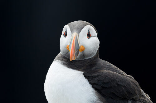 Atlantic Puffin portrait against a black background. I noticed the puffins flying into here with beaks full of sand eels and used the bright late morning sunshine to expose for the puffin whilst enabling me to black out the background; a dark area of cliff in deep shade.