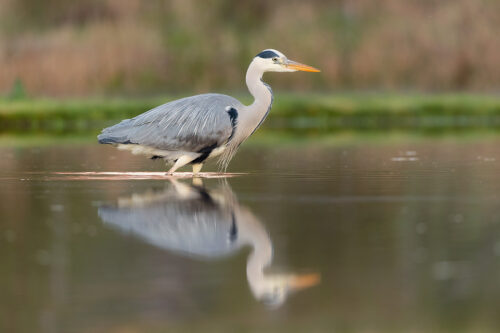Grey Heron Reflection. Grey heron fishing for trout, Aviemore, Scotland, UK.