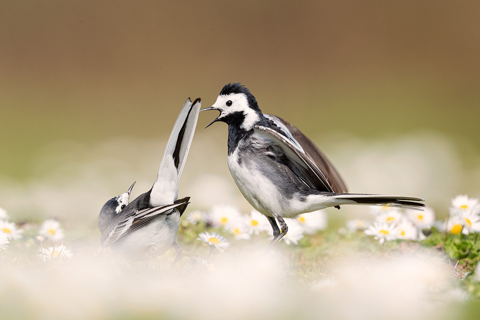Pied Wagtails Courting. Derbyshire, Peak District National Park. I was capturing some close up portraits of the female wagtail surrounded daisies when suddenly the male arrived and began a courtship display, I quickly slithered back so I could fit them both in the frame and capture the action.