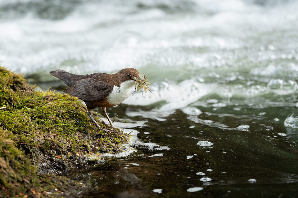 Dipper with Mayflies. An adult white-throated Dipper with a beak full of mayflies returning to the nest, Derbyshire dales. Peak District National Park.