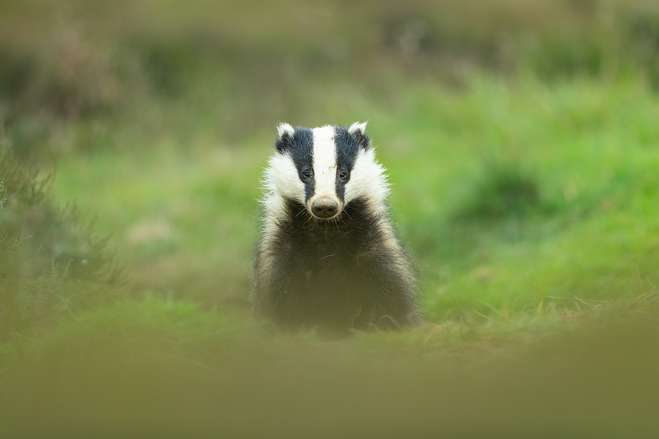 Emerging Badger. Adult badger emerging from the sett after heavy rainfall. Derbyshire, Peak District NP. Despite being incredibly shy and elusive, badgers are one of my favourite British species to photograph.