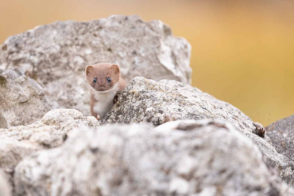 A weasel emerges from a drystone wall. Derbyshire, Peak District National Park.