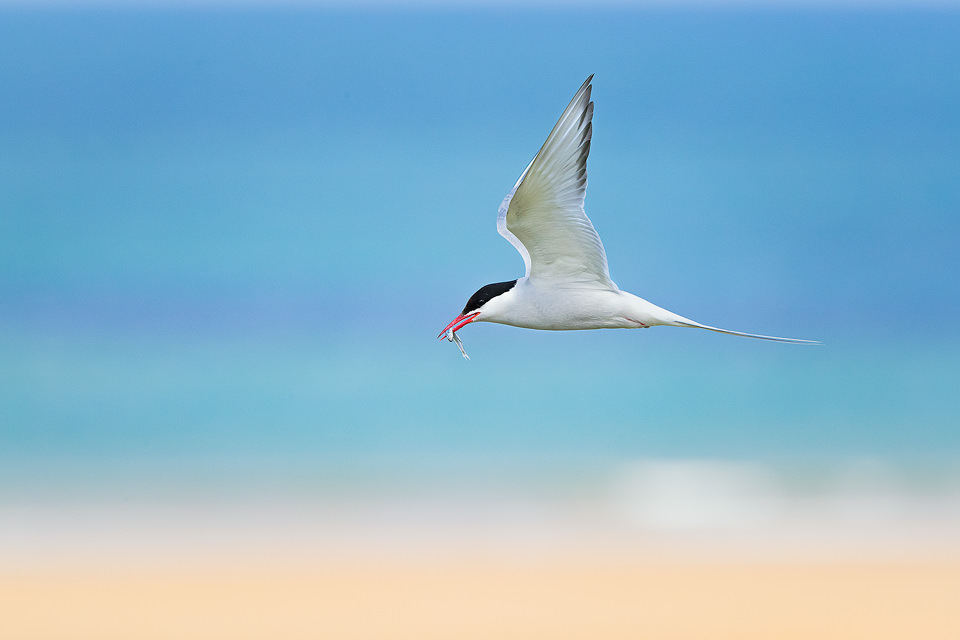 Artic Tern in flight returning to the nest with a fish. Northumberland, UK.