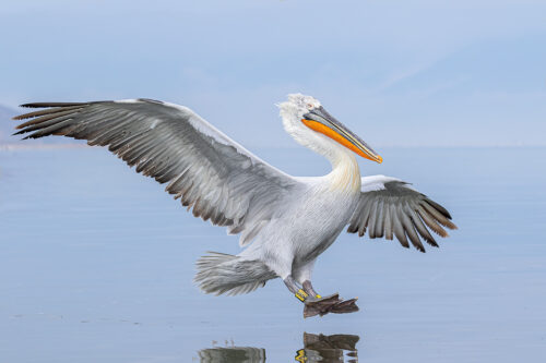 Ringed Dalmatian Pelican coming in to land on Lake Kerkini in Northern Greece. One of the most impressive aspects of these stunning birds was their gigantic wingspan. Adult pelicans can have a wingspan of over 11ft! This makes them one of the worlds largest flying birds.