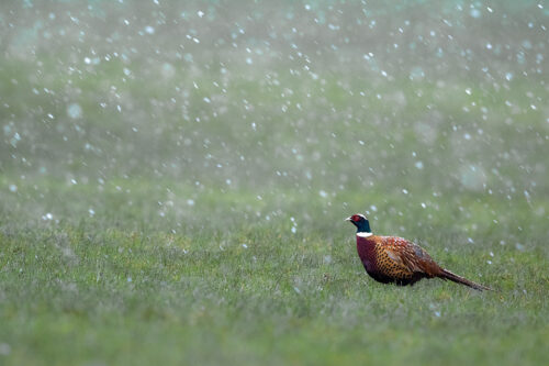 Male Pheasant in a Snowstorm, Derbyshire, Peak District National Park.