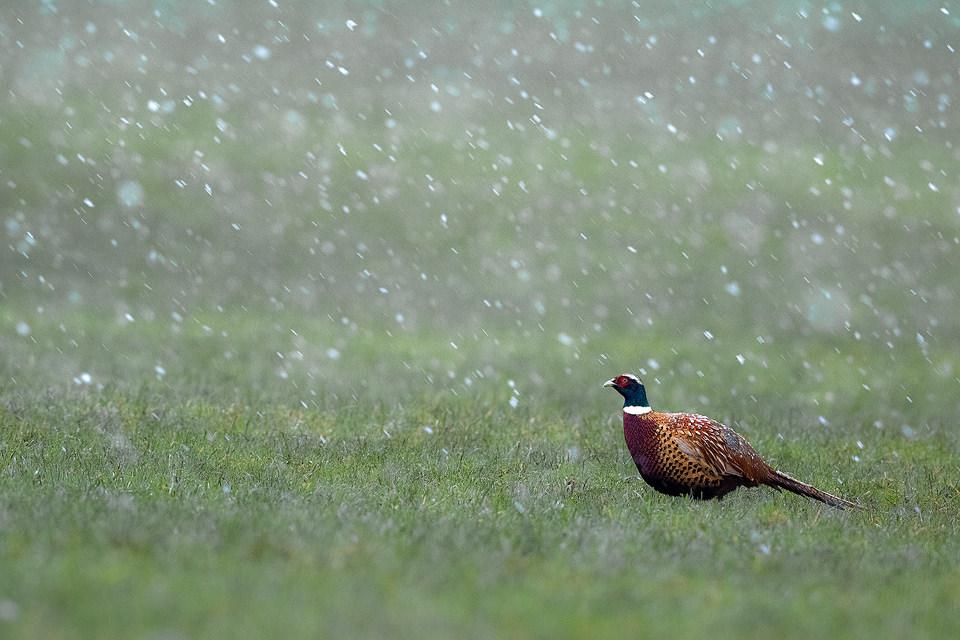 Male Pheasant in a Snowstorm, Derbyshire, Peak District National Park.