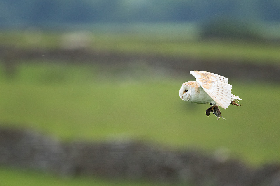 Barn owl with vole. Barn owl bringing a vole back to the nest to feed its demanding family. This owl was a particularly efficient hunter and kept successfully catching vole after vole.