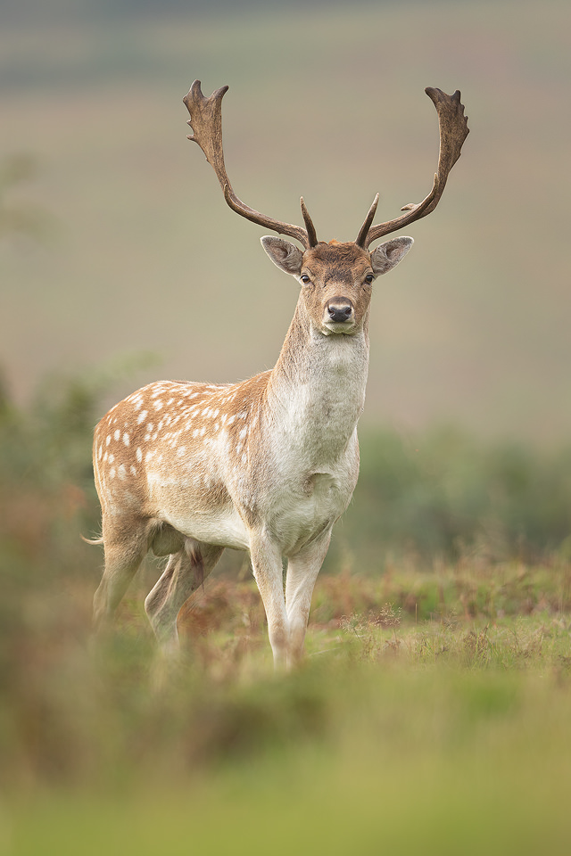 A proud fallow deer stag during the Autumn rutting season. Leicestershire, UK.