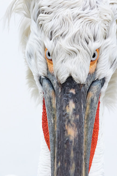 Dalmatian Pelican Portrait. Lake Kerkini, Northern Greece. Daily feeds by the local fisherman offered some incredible opportunities to get up close and personal with these stunning birds. Here I used my telephoto lens at f/11 to pick out the fine details and ensure everything was tack sharp. I love the simplicity of images like this, focusing on shape, colour and fine detail rather than the wider view.