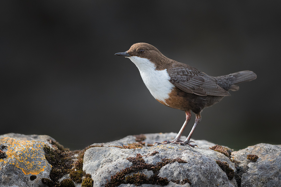 Dipper Portrait. Simple portrait of an adult white-throated Dipper on a limestone wall, Derbyshire dales. Peak District National Park.