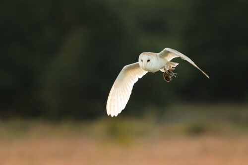 Hunting Barn Owl II - Peak District Wildlife Photography