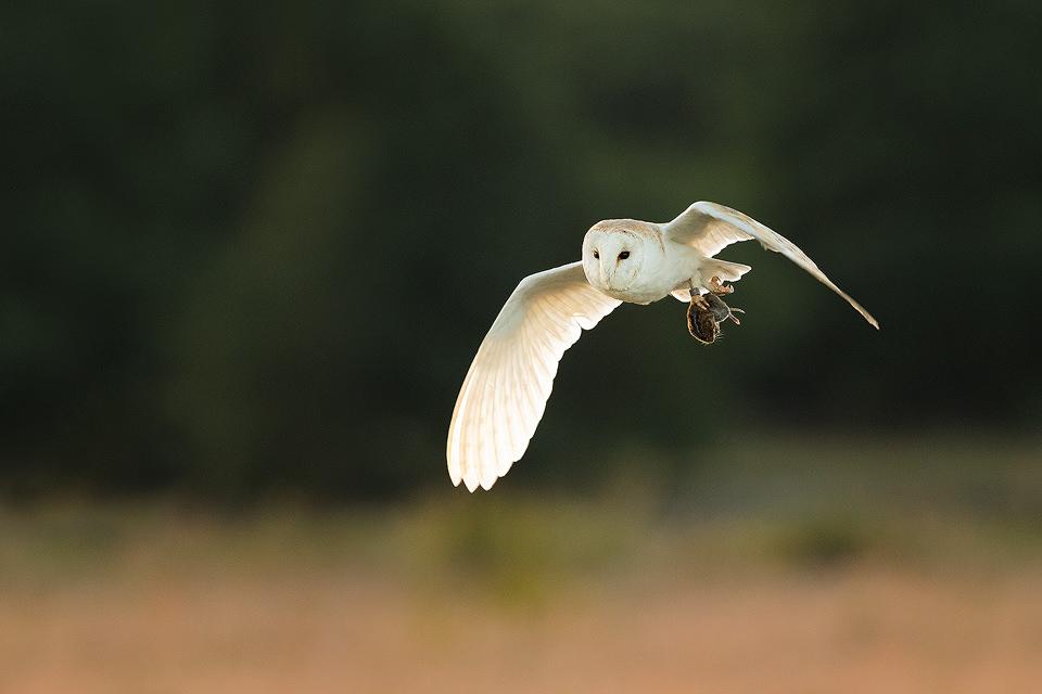 Hunting Barn Owl II - Peak District Wildlife Photography