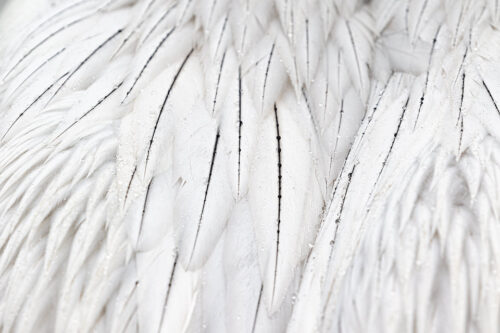 Dalmatian Pelican Feathers. Detailed close up of the stunning black and white plumage of an adult Dalmatian Pelican. The birds were so habituated in some areas they came close enough to capture wide angle and fine detail images.