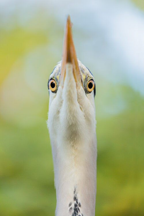 Grey heron looking down at me over its beak, London, UK. Although London may seem a strange choice for wildlife photography, it can actually provide some of the best opportunities as the wildlife is so habituated.