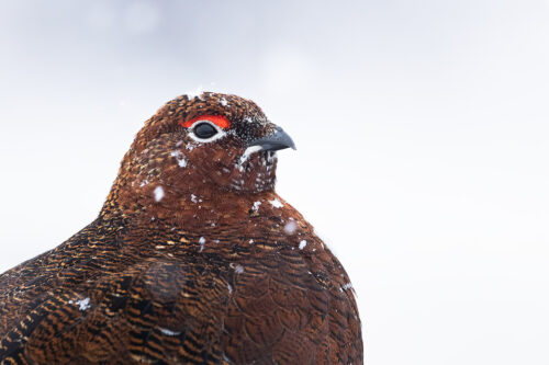 Snowy Red Grouse. Close up portrait of a male red grouse covered in falling snowflakes, Derbyshire, Peak District National Park. This image was taken as part of an ongoing long term red grouse project. Grouse are often very flighty and nervous, but after spending so much time with the same birds, many of the grouse have become so relaxed that I am able to capture more natural behaviours and a range of unusual images.