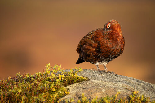 Preening Red Grouse. Male Red Grouse preening on top of a boulder in warm evening light. Derbyshire,Peak District National Park. This particular bird has a real personality and is such a poser that I decided to nickname him Famous. This image was taken during my long term red grouse project where I spent several months photographing red grouse as they warmed up to the breeding season. Grouse are often very flighty and nervous, but after spending so much time with the same birds some of the grouse got so used to my presence they ignored me and got on with their day allowing me to capture much more natural behaviour and a range of unusual images.