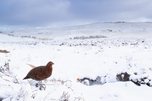 Red Grouse Habitat, Derbyshire, Peak District National Park. This image was taken with a 16-35mm wide angle lens to show the grouse in his snowy habitat. This image was taken as part of an ongoing long term red grouse project. Grouse are often very flighty and nervous, but after spending so much time with the same birds, many of the grouse have become so relaxed that I am able to capture more natural behaviours and a range of unusual images.