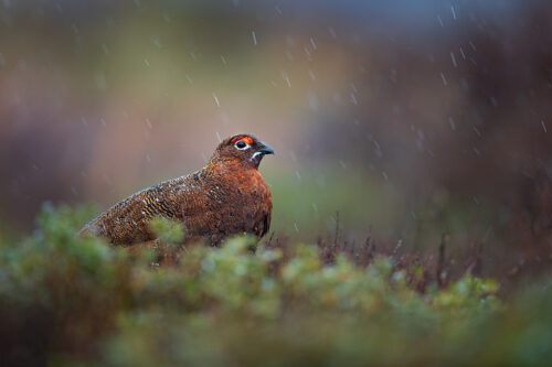 Red Grouse in heavy rain. A bedraggled looking male red grouse in falling rain, Derbyshire, Peak District National Park. This particular bird has a real personality and is such a poser that I decided to nickname him Famous. This image was taken during my long term red grouse project where I spent several months photographing red grouse as they warmed up to the breeding season. Grouse are often very flighty and nervous, but after  spending so much time with the same birds some of the grouse got so used to my presence they ignored me and got on with their day allowing me to capture much more natural behaviour and a range of unusual images.
