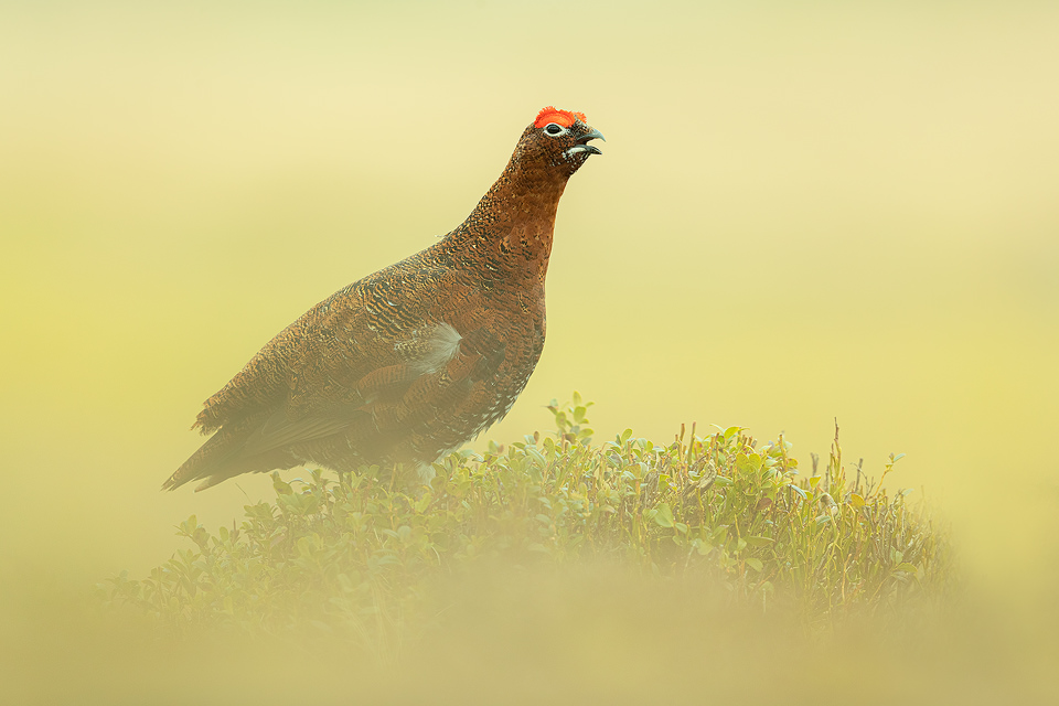 The Moorcock. Male red grouse calling from the top of a bilberry bush, Derbyshire, Peak District National Park. Taken during my long term red grouse project where I spent several months photographing red grouse as they warmed up to the breeding season. Grouse are often very flighty and nervous, but after spending so much time with the same birds some of the grouse got so used to my presence they ignored me and got on with their day allowing me to capture much more natural behaviour.