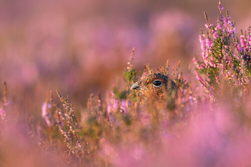 The moorfowl. A female Red Grouse (Lagopus lagopus) photographed amongst the heather on Derwent Edge in the Peak District National Park.