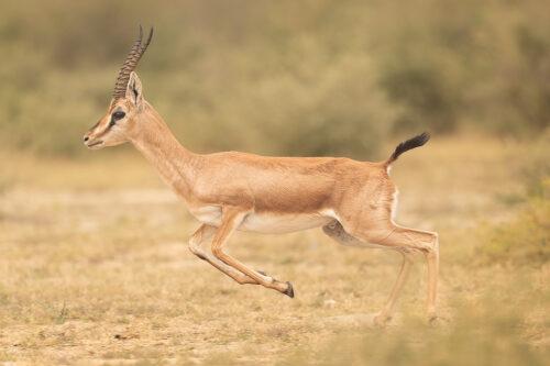 Indian Gazelle breaking into a run. Tal Chhappar, Rajasthan, India.