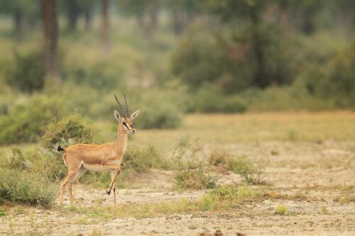Chinkara Habitat. Indian Gazelle in desert scrub habitat breaking into a run. Tal Chhappar, Rajasthan, India.