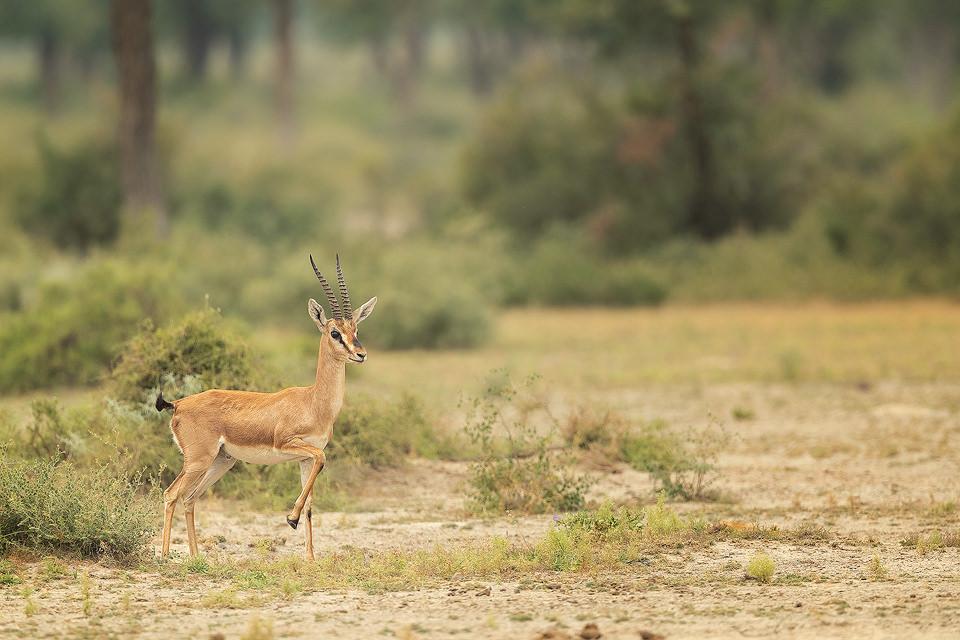 Chinkara Habitat. Indian Gazelle in desert scrub habitat stomping hooves. Tal Chhappar, Rajasthan, India.