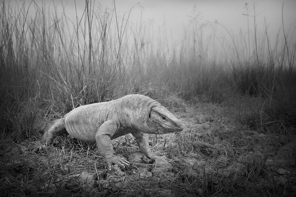 Wide angle view of a big bengal monitor lizard in grassland habitat. Tal Chappar, Rajasthan, India.