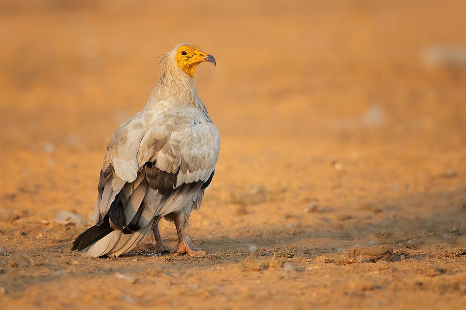 Egyptian Vulture