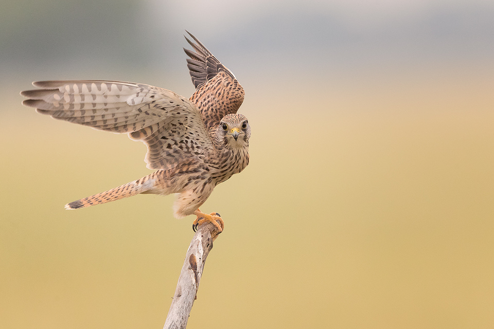 Eurasian Kestrel taking off from a weathered post in the grasslands of Tal Chhapar, Rajasthan, India.