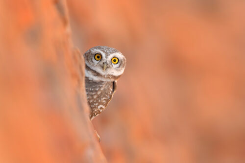 Spotted owlet, peering up from its nest cavity in an old disused well. Rajasthan, India.