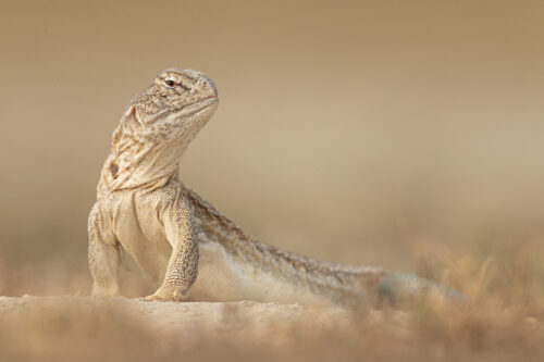 Indian spiny-tailed lizard resting outside its sandy burrow. Chhapar, Rajasthan, India.