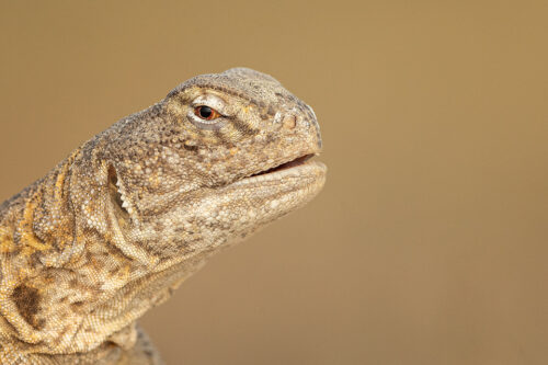 Indian spiny-tailed lizard close up. Chhapar, Rajasthan, India.